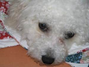 Not so innocent Bichon Poodle