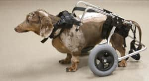 Dogs with Spinal Cord Injuries