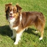 Resource Guarding Miniature Australian Shepherd