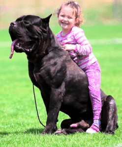 Cane Corso with Child