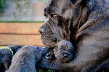 Cane Corso with Puppies