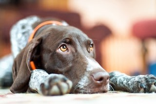 Grieving Dog German Shorthaired Pointer