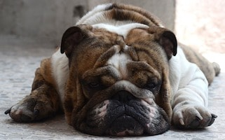 fearful bulldog