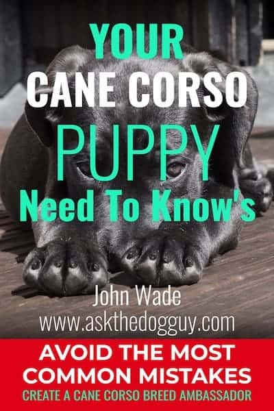 Cane Corso Puppy Need To Know