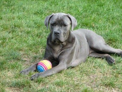Female Cane Corso With a toy